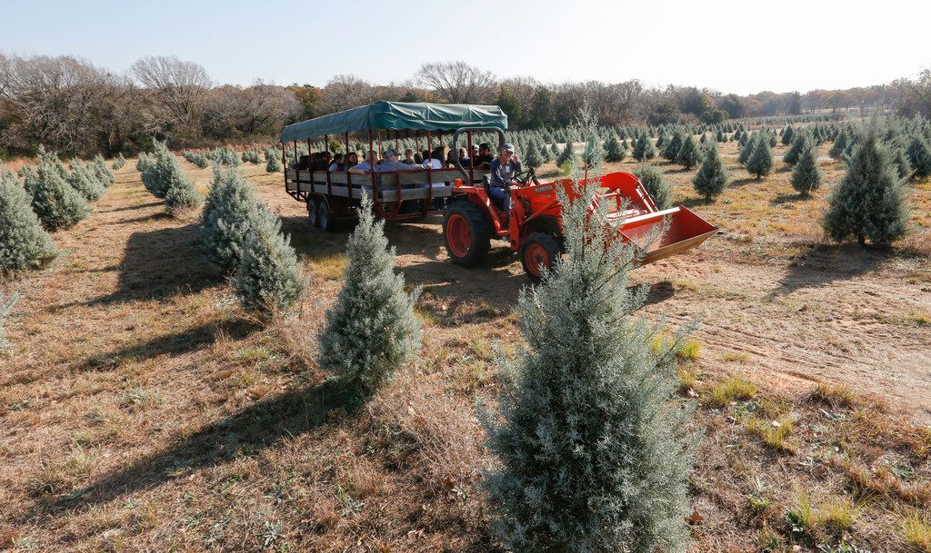 Kim Yarbrough-Stanfield drives one of the hay rides through the orchard at Mainstay Farm in Cleburne, Texas Friday, December 1, 2017. The farm sells pre-cut Leyland Cypress and Blue Ice Christmas trees and visitors can cut their own tree with provided saws.(Ron Baselice/The Dallas Morning News)