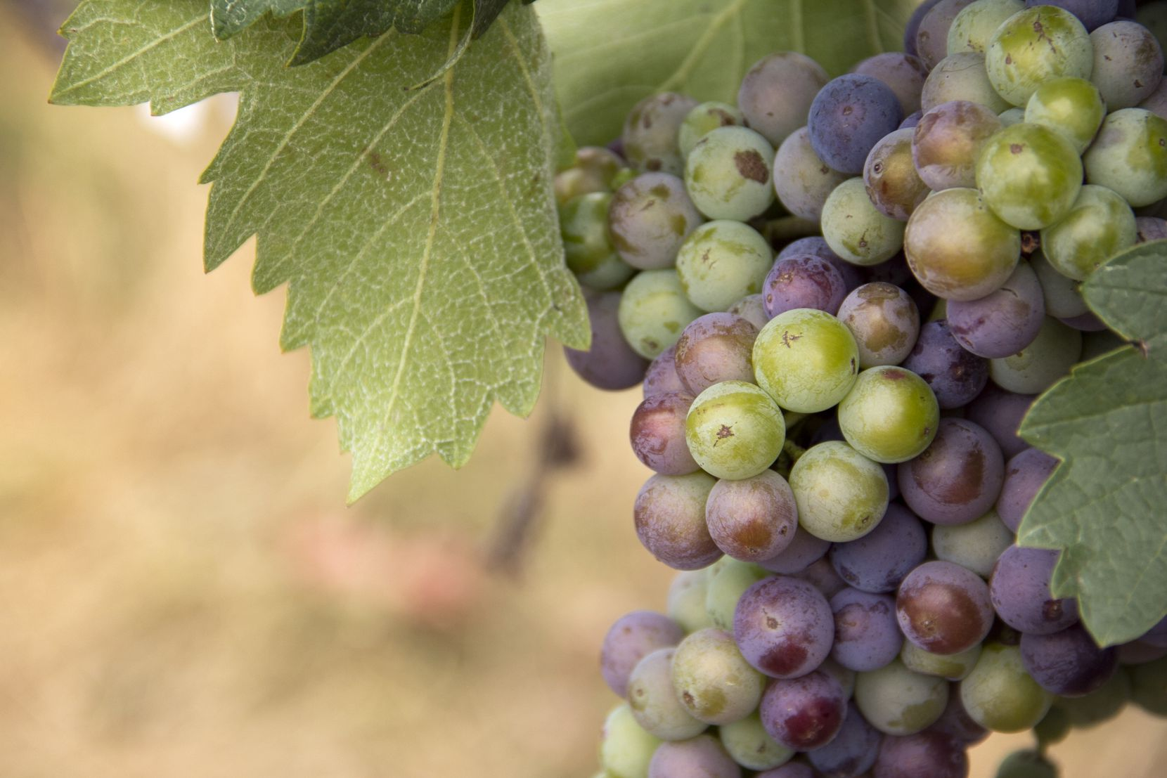 Mourvedre grape at Brennan Vineyards in Comanche, Texas