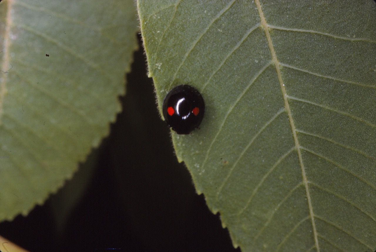 Chilocorus stigma, commonly known as twice-stabbed ladybug, is a native resident