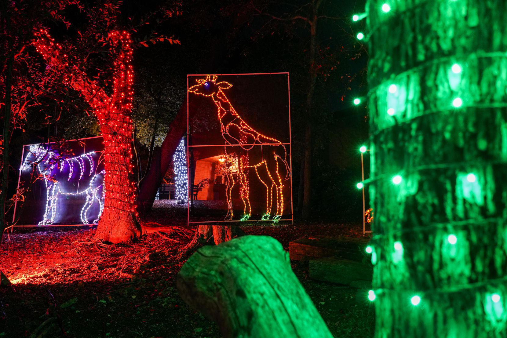 Light displays in the shape of giraffes and zebras are seen along the side of the route during Dallas Zoo Lights on Wednesday, Nov. 18, 2020, in Dallas. The Dallas Zoo?s display of one million lights and silk-covered, animal-shaped, lanterns is presented as a drive-through this year.  (Smiley N. Pool/The Dallas Morning News)