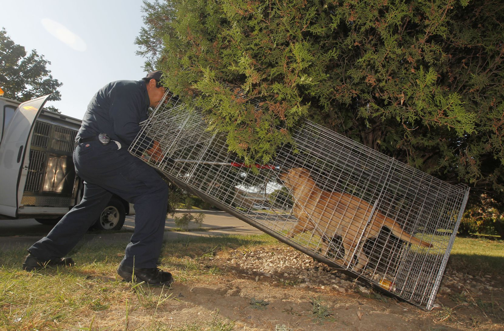Dallas Animal Services control officer Esteban Rodriguez puts a loop around a stray dog that was trapped in Southwest Dallas.