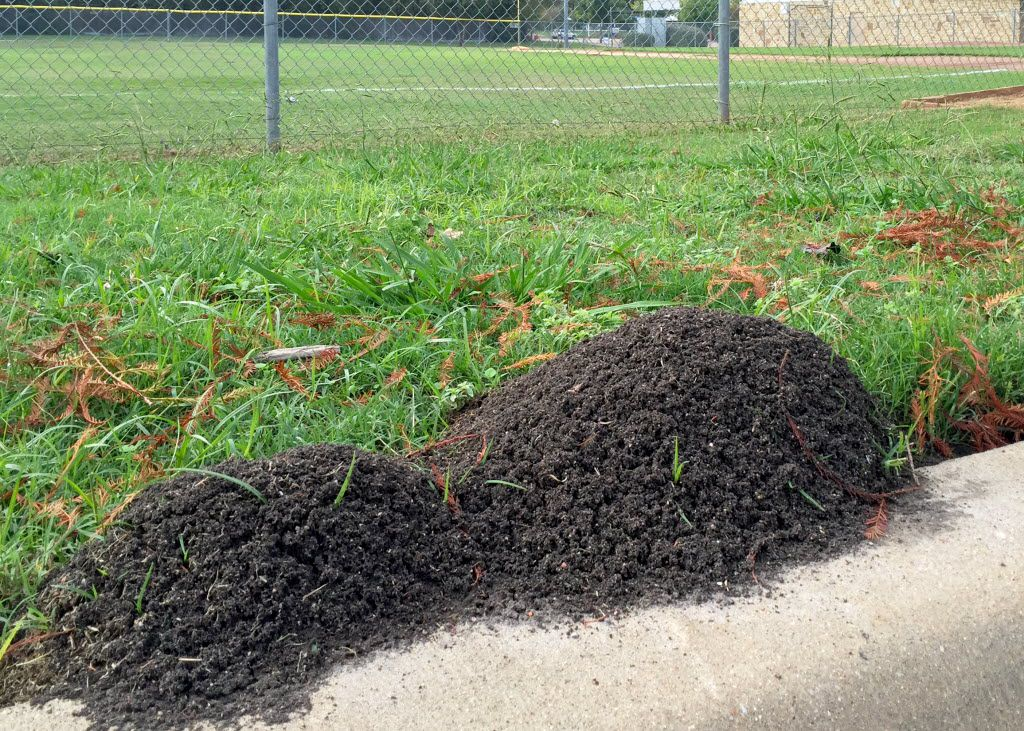 After periods of rain, fire ant mounds can be found in large grass fields, like athletic fields.