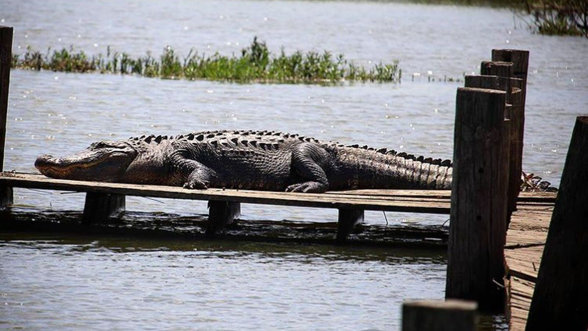 An alligator was spotted sunbathing at Fort Worth Nature Center and Refuge over Memorial Day weekend.
