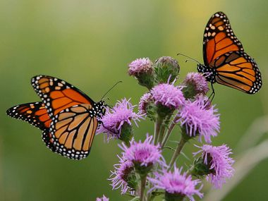 Monarch butterflies' declining numbers stem from habitat destruction blamed on factors such as last year's Texas drought and wildfires and increased agricultural use of herbicides.
