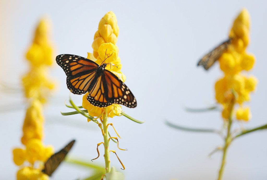 Monarch butterflies remain on a plant after being released during the Flight of the Monarch annual event at Central Park in Grand Prairie.