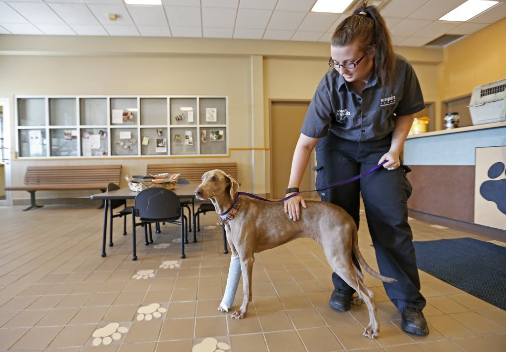 In this file photo, Mesquite Animal Services employee Morgan Ramsey gives Maggie some loving at the Mesquite Animal Shelter.