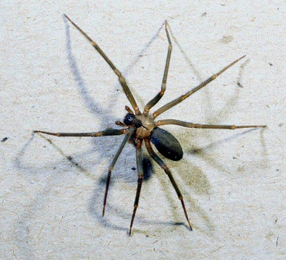 The brown recluse spider is one of the dangerous ones.