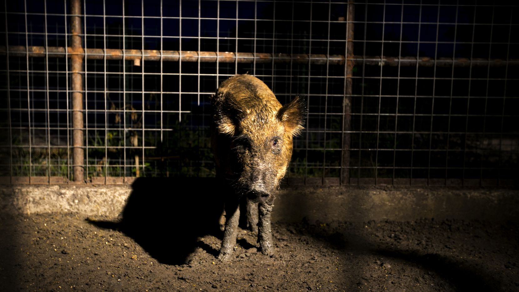 A feral hog is kept in a pen at Ortiz Game Management in New Braunfels on Thursday July 17, 2014.   JAY JANNER / AMERICAN-STATESMAN
