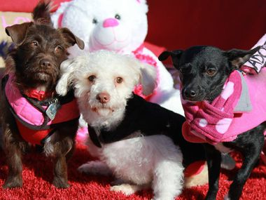 Dog About Town Celebrating With Your Furry Valentine And More Fun