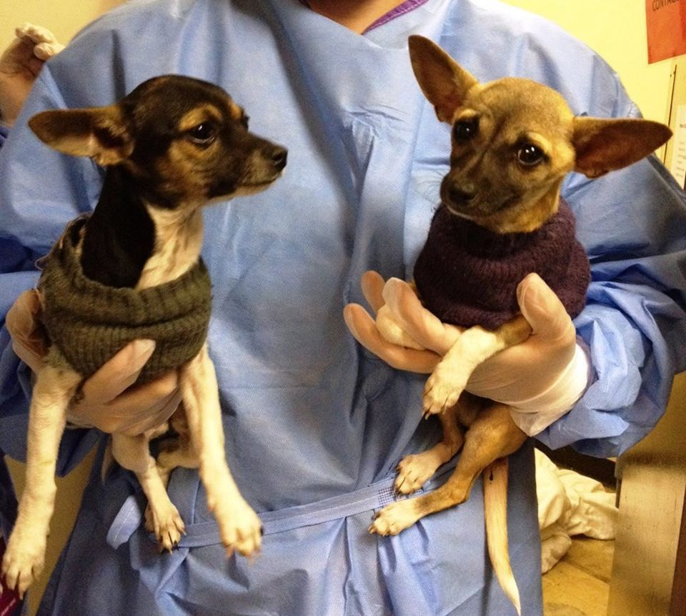 """This photo provided by KC Pet Project shows two puppies that spent time in the """"Parvo Ward"""" at the Kansas City Pet Project, which is testing a treatment for the canine parvovirus. The medicine, an antibody that is harvested from goose eggs, is manufactured by Grand Forks, N.D.-based Avianax. It is being tested at eight sites around the country and could be marketed by next spring. (AP Photo)"""