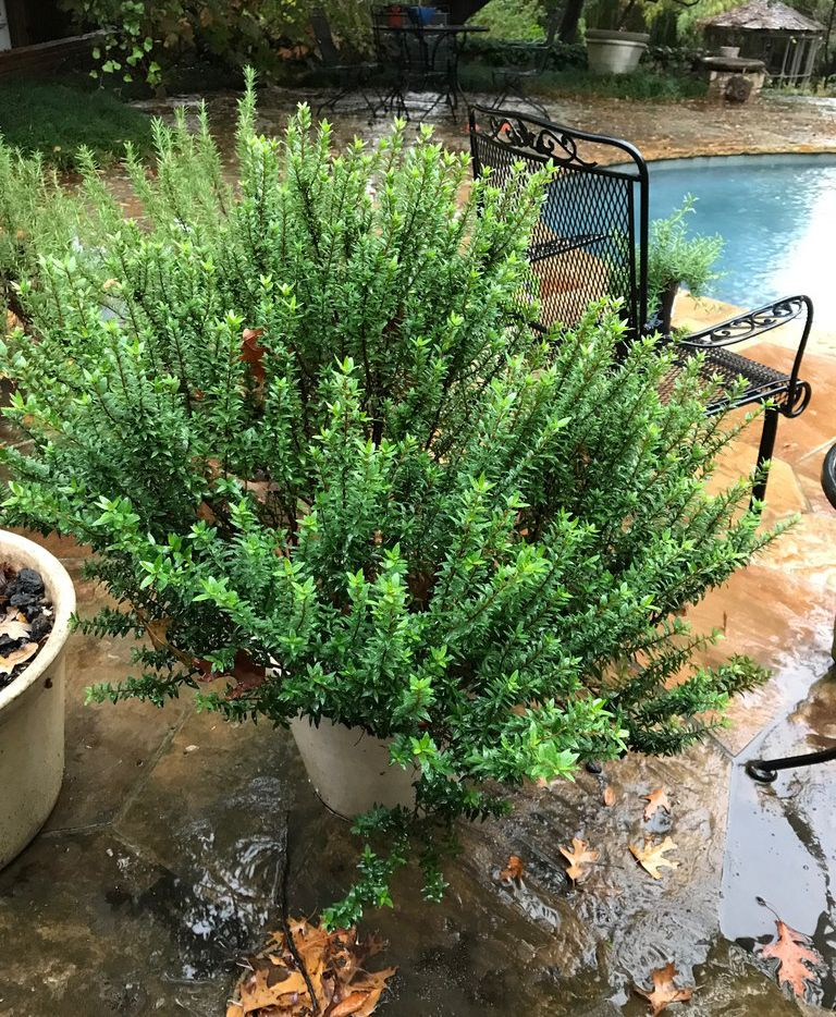 This Easy To Grow Plant Could Replace Rosemary As Your Favorite Herb