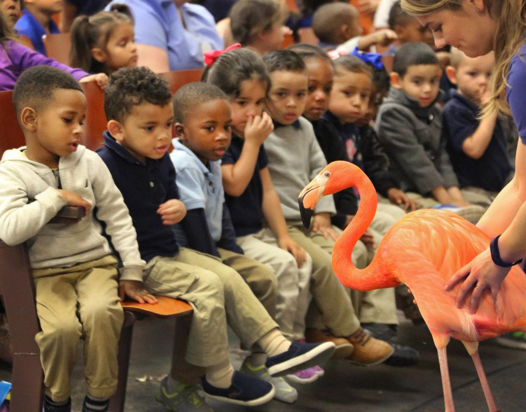 Dallas Zoo outreach specialist Ryanne Hanley allows students to get an up close view of a flamingo from the Dallas Zoo during a program at Gilbert Cuellar Sr. Elementary School in Dallas on Friday, January 20, 2017.
