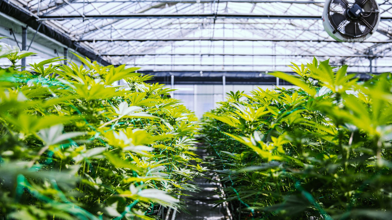 One of the cannabis industry's biggest investors is a Dallas firm.