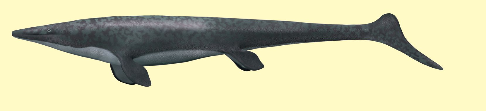 An artist's' rendering of what this mosasaur, Angolasaurus bocagei, might have looked like while it was alive. This species, Angolasaurus bocagei, is among the oldest known mosasaur from the Southern Hemisphere and the earliest native species of mosasaur from Angola. It descended from North American and European species that first arrived along Angola''s coast a little over 88 million years ago. A powerful swimmer, it grew up to 13 feet (4 meters) long. Its cone-shaped, curved teeth suggest it hunted fish along Angola''s narrow continental shelf.