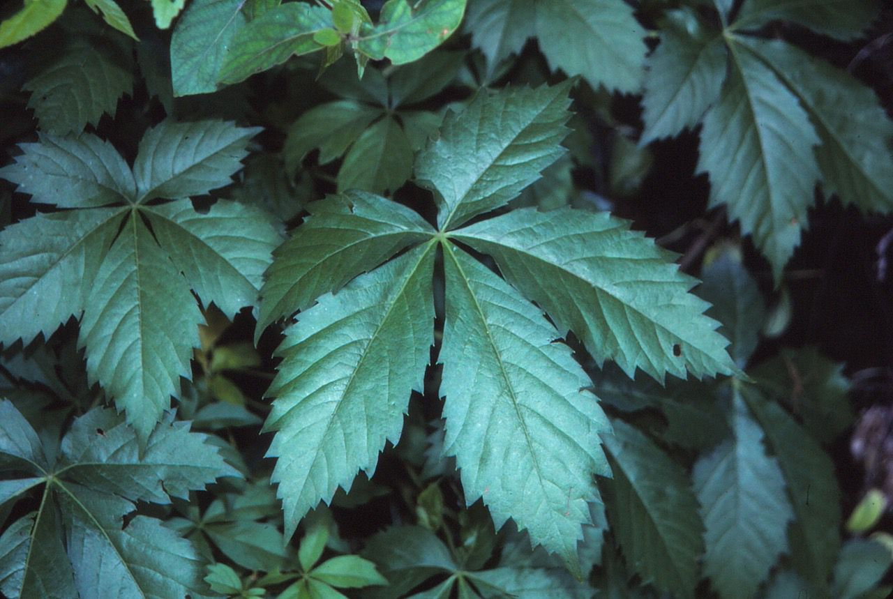 Virginia creeper is typically harmless, but for at least one reader, it causes a horrible rash similar to that of poison ivy.