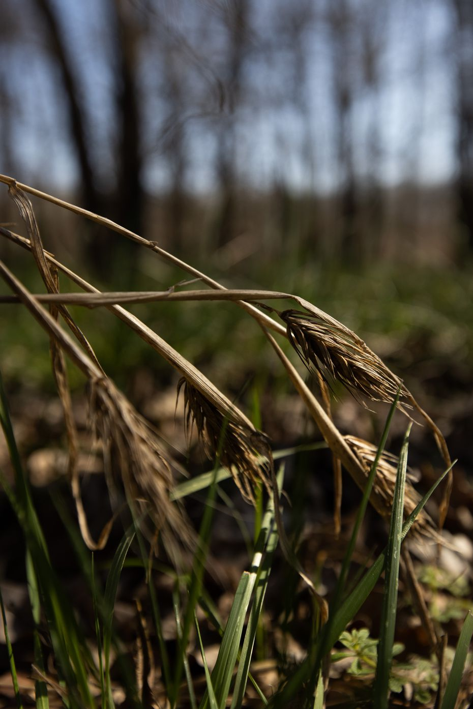 Virginia wild rye, sometimes referred to as Texas wheat, is among the many grasses in the Great Trinity Forest that Ben Sandifer fears will suffer if the city begins cutting down green ash trees.