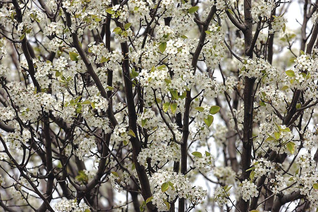 Bradford pear trees in Denton
